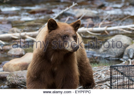 Eastern Brown Bear coloring #2, Download drawings