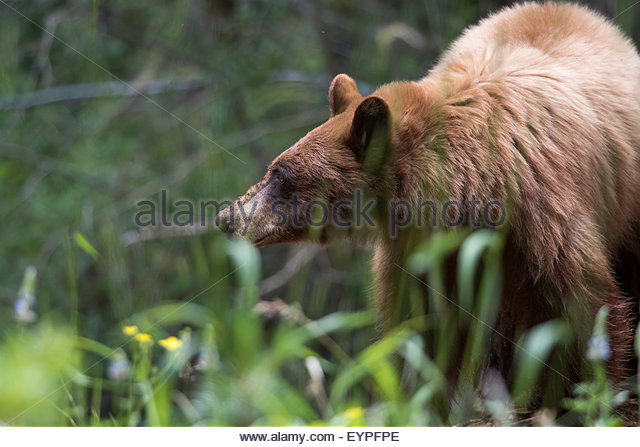 Eastern Brown Bear coloring #15, Download drawings