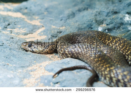 Eastern Brown Snake clipart #13, Download drawings