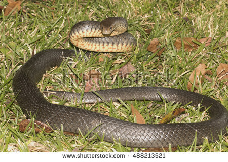 Eastern Brown Snake clipart #9, Download drawings