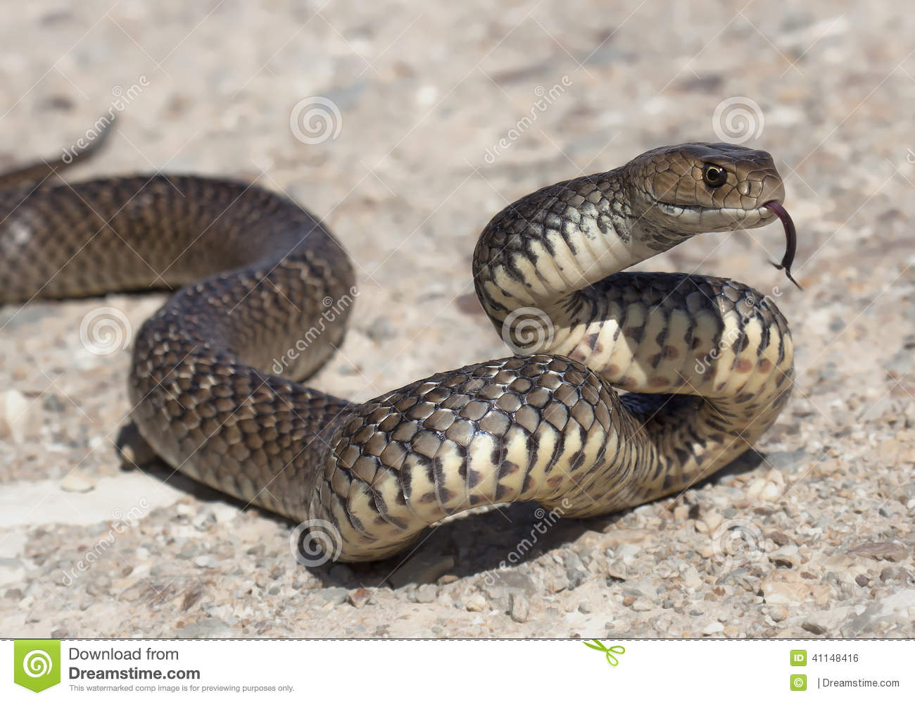 Eastern Brown Snake clipart #11, Download drawings
