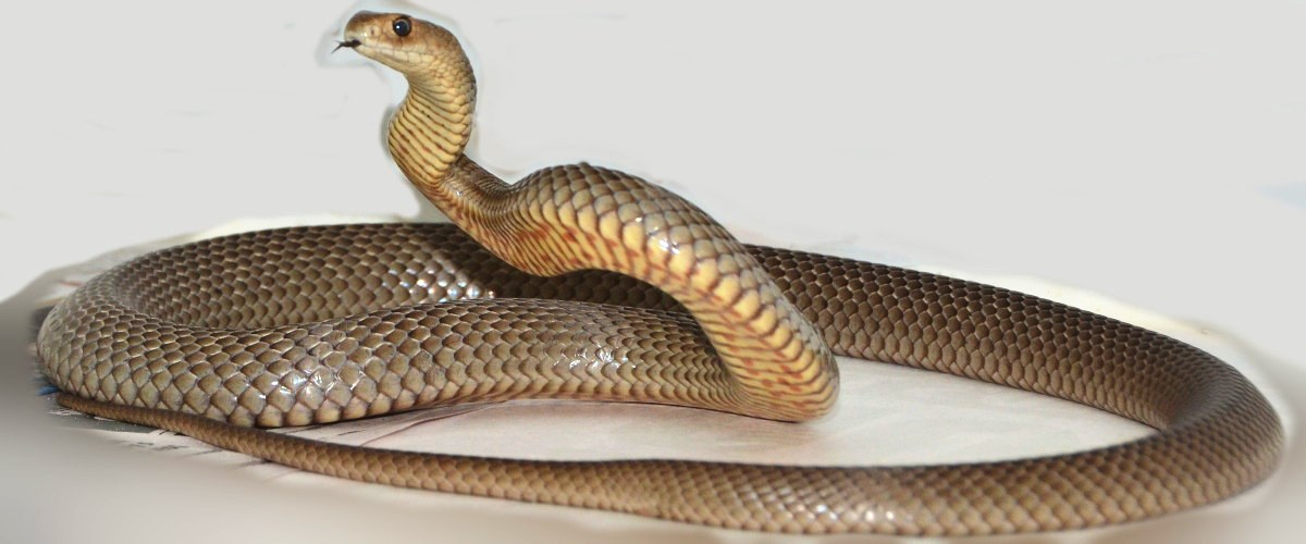 Eastern Brown Snake clipart #2, Download drawings