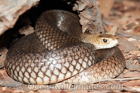 Eastern Brown Snake clipart #10, Download drawings