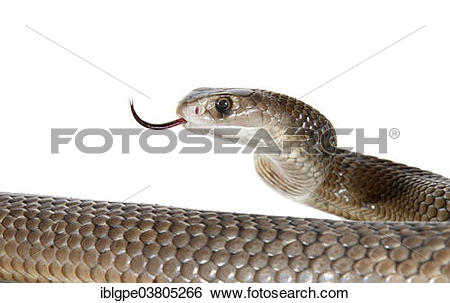 Eastern Brown Snake clipart #18, Download drawings