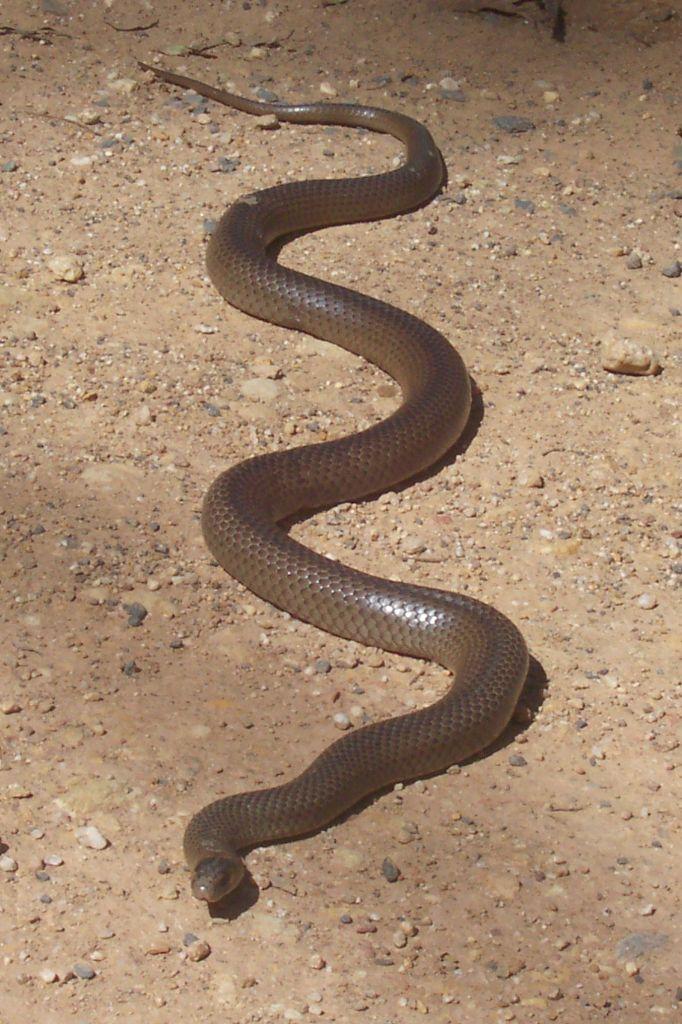 Eastern Brown Snake coloring #19, Download drawings