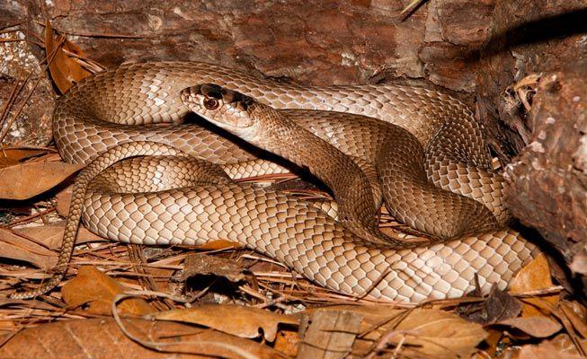 Eastern Brown Snake coloring #14, Download drawings