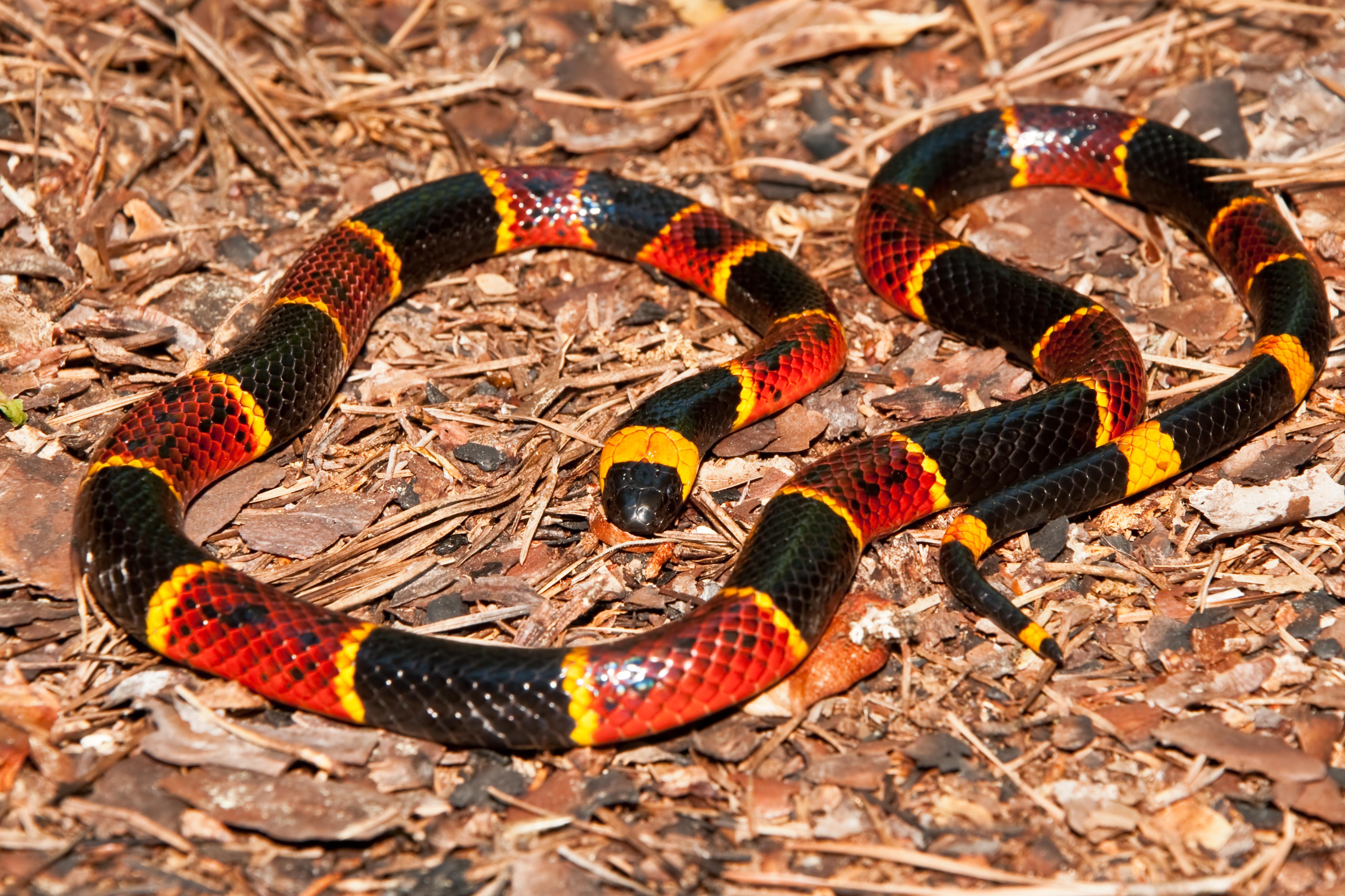 Eastern Brown Snake coloring #3, Download drawings