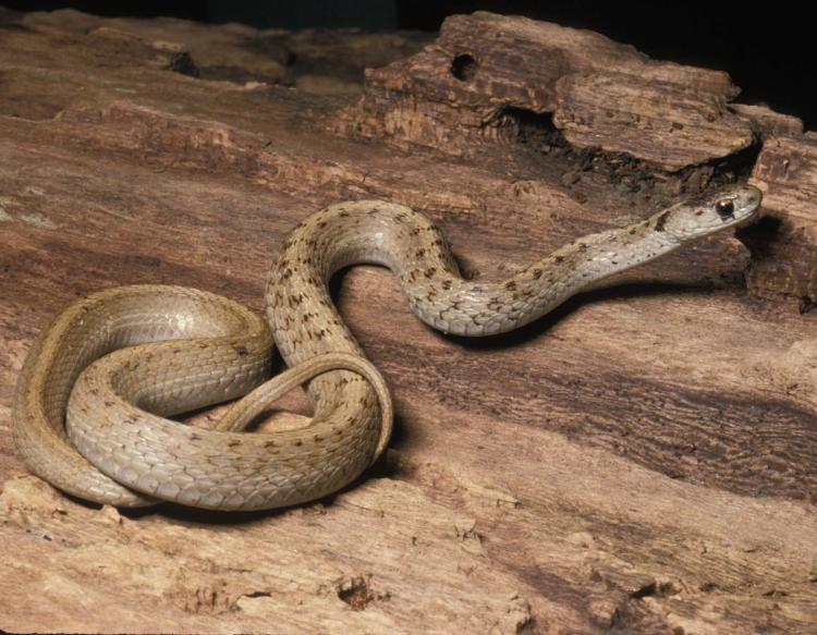 Eastern Brown Snake coloring #12, Download drawings