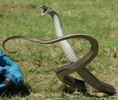 Eastern Brown Snake coloring #15, Download drawings