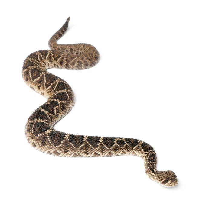 Eastern Brown Snake coloring #10, Download drawings