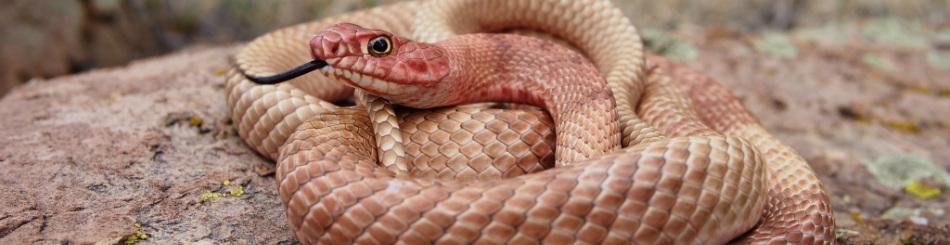 Eastern Brown Snake coloring #6, Download drawings