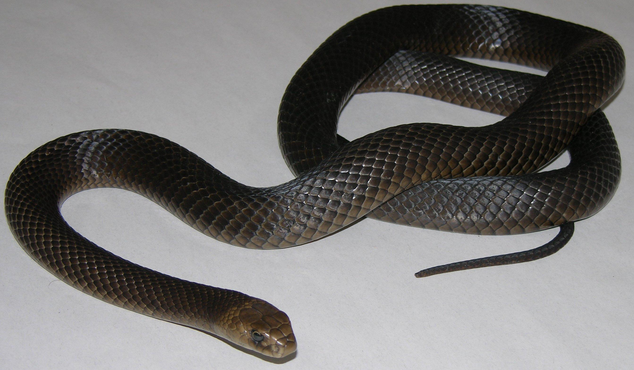 Eastern Brown Snake coloring #17, Download drawings