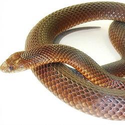 Eastern Brown Snake coloring #4, Download drawings