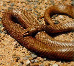 Eastern Brown Snake coloring #16, Download drawings