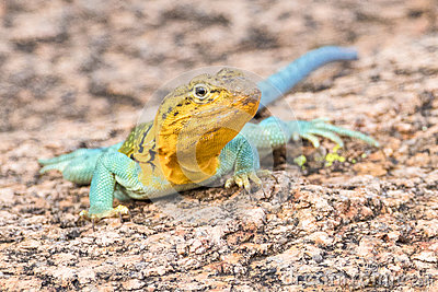 Eastern Collared Lizard clipart #9, Download drawings