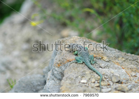 Eastern Collared Lizard clipart #8, Download drawings