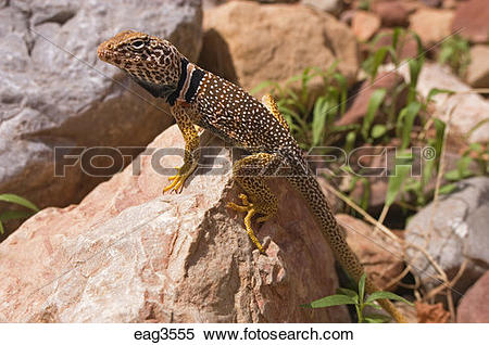 Eastern Collared Lizard clipart #7, Download drawings