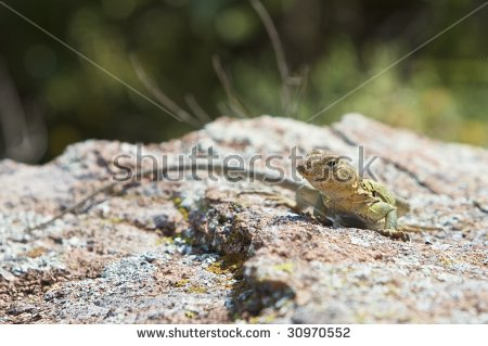 Eastern Collared Lizard clipart #6, Download drawings