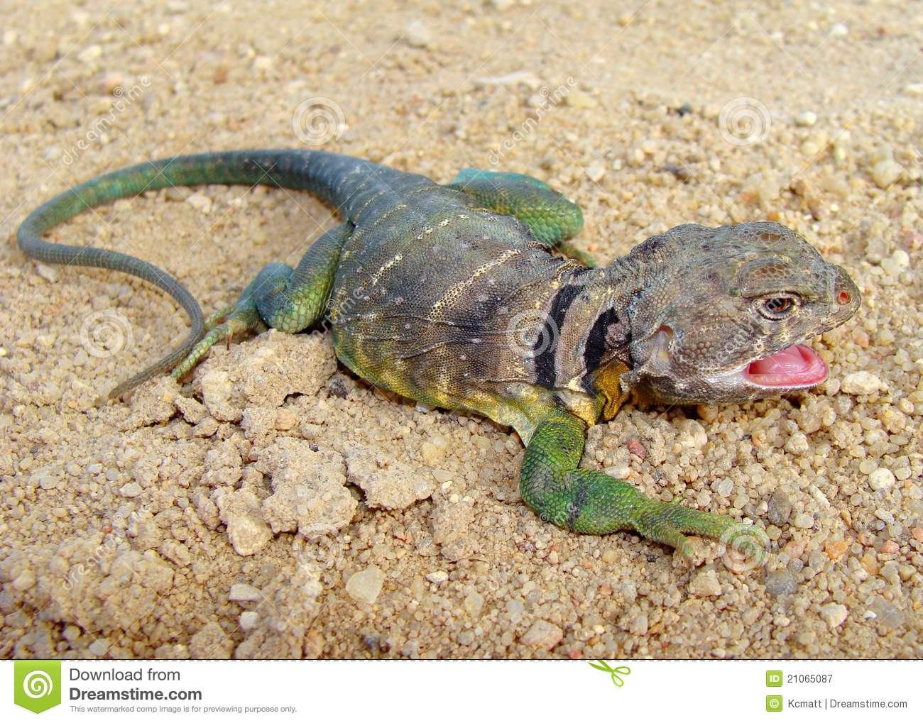 Eastern Collared Lizard clipart #14, Download drawings