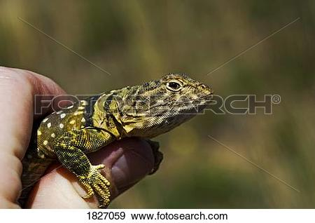 Eastern Collared Lizard clipart #13, Download drawings