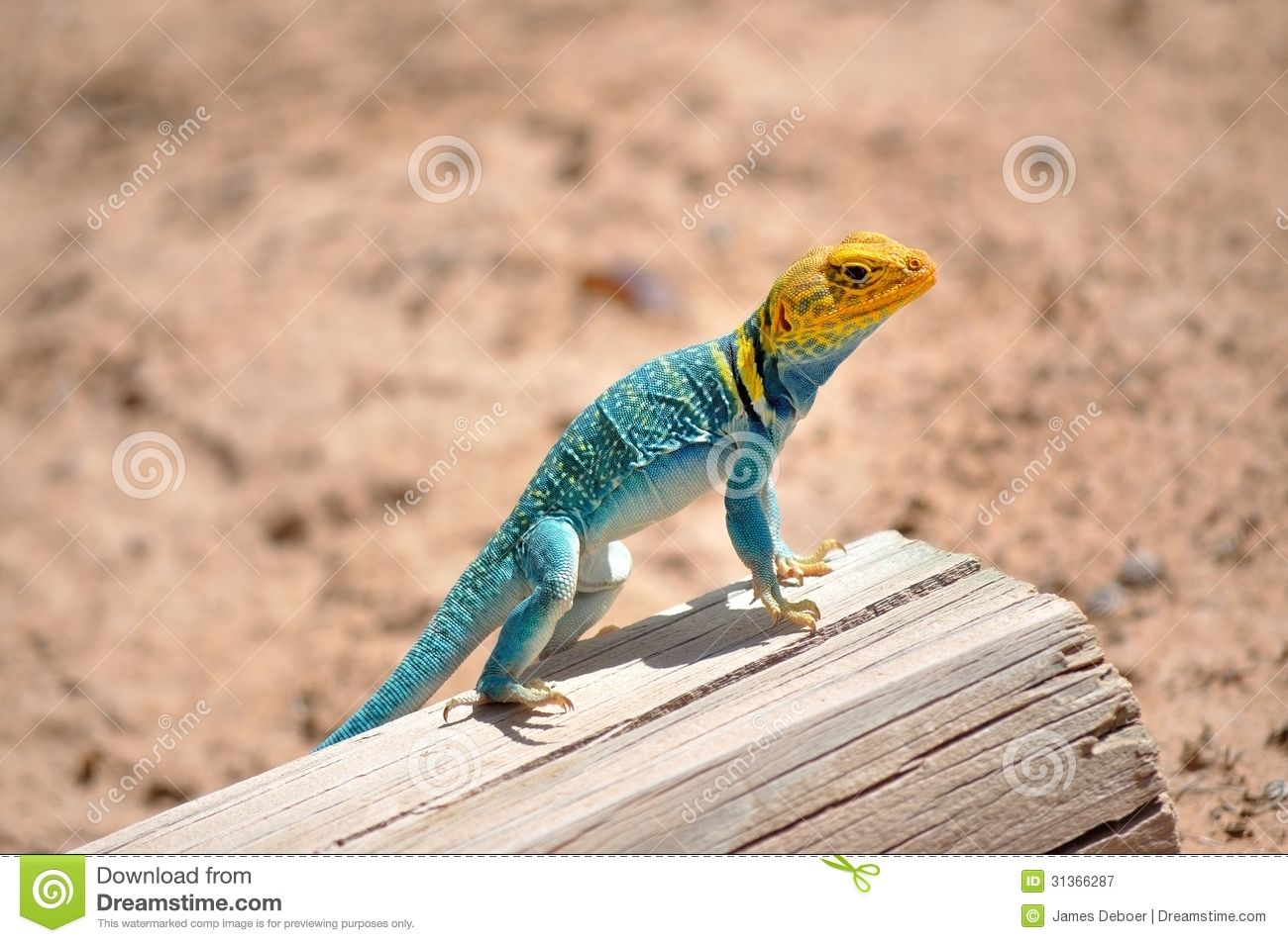 Eastern Collared Lizard clipart #12, Download drawings