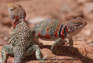 collared lizard coloring pages - photo#45