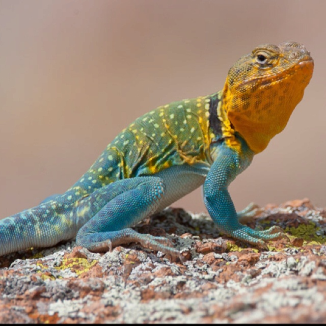 collared lizard coloring pages - photo#19