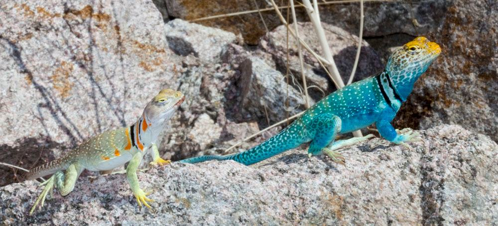 collared lizard coloring pages - photo#28