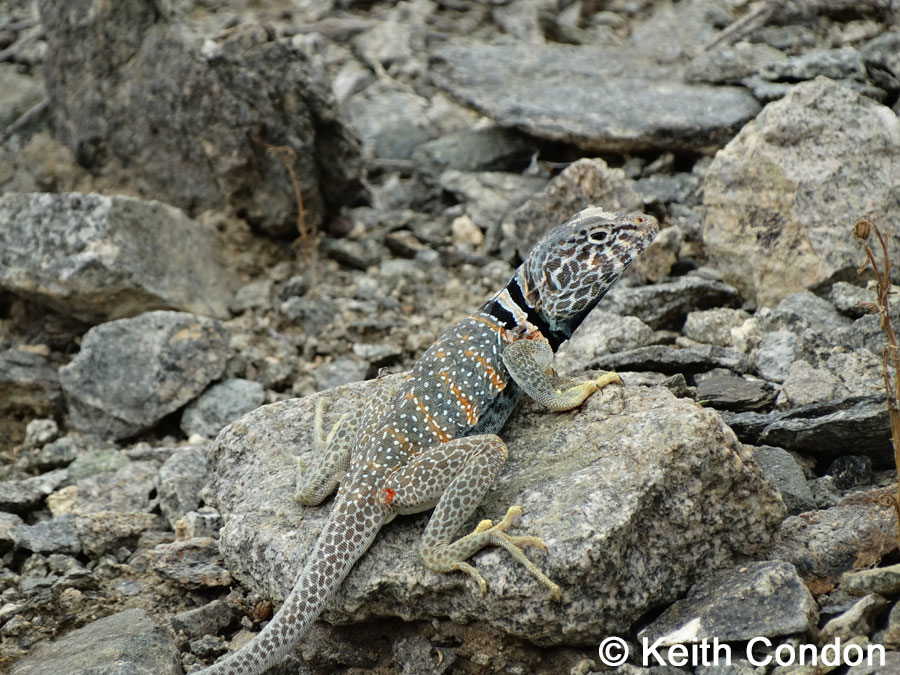 collared lizard coloring pages - photo#32