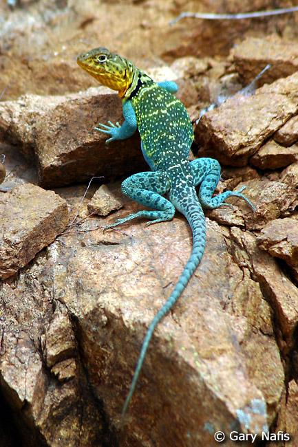 collared lizard coloring pages - photo#22