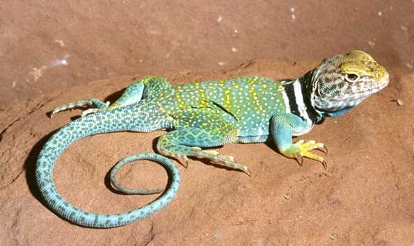 collared lizard coloring pages - photo#20