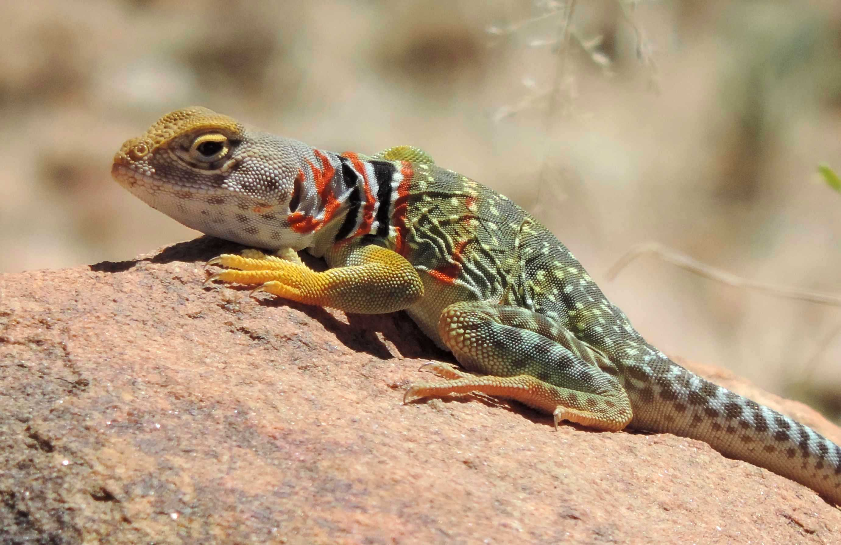 collared lizard coloring pages - photo#30