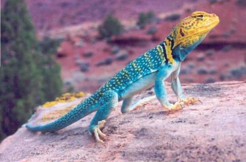 Eastern Collared Lizard coloring #14, Download drawings
