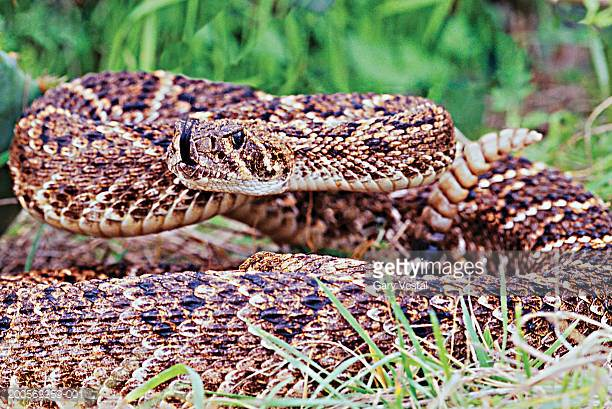 Eastern Diamondback Rattlesnake clipart #20, Download drawings
