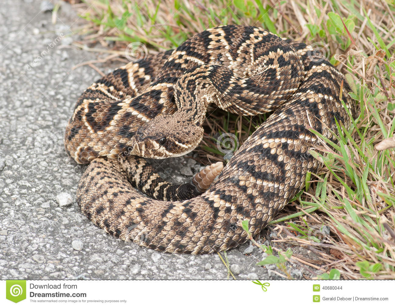 Eastern Diamondback Rattlesnake clipart #13, Download drawings