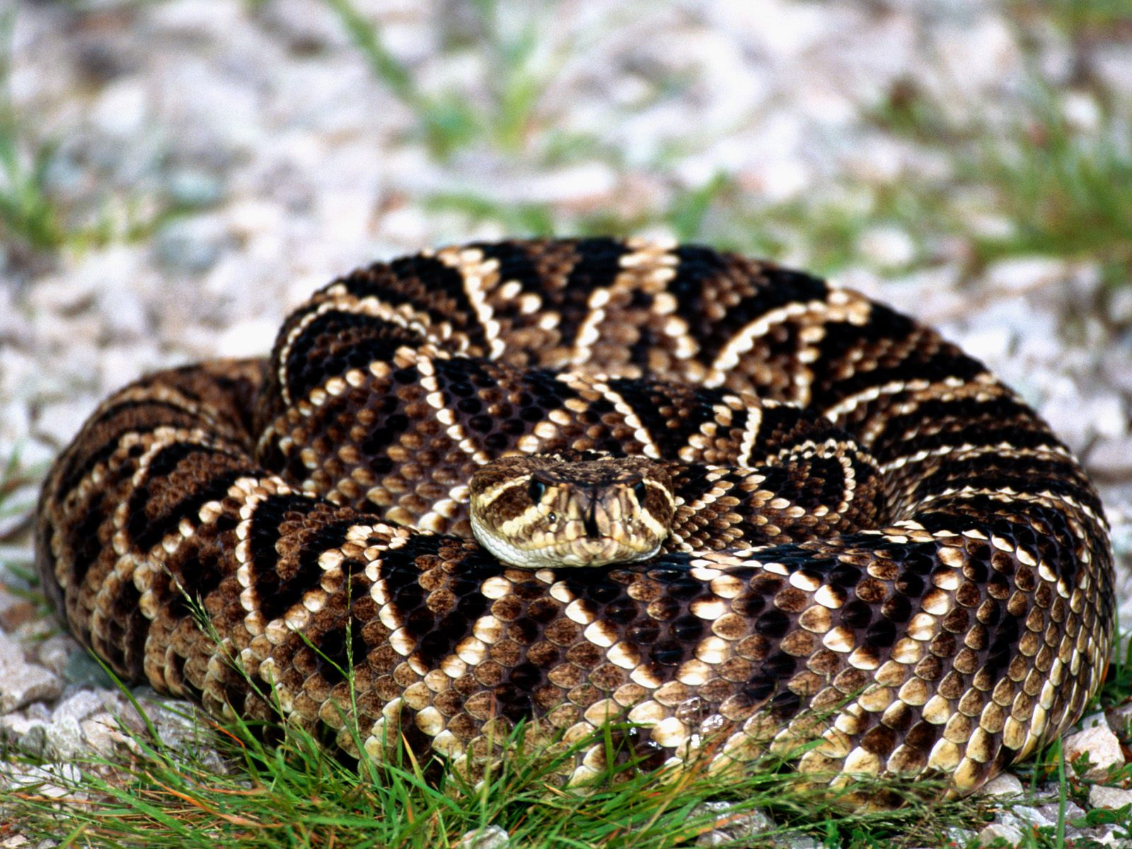 Eastern Diamondback Rattlesnake clipart #19, Download drawings