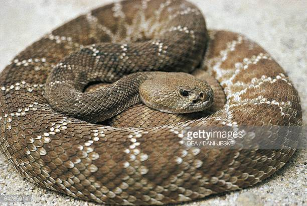 Eastern Diamondback Rattlesnake clipart #8, Download drawings