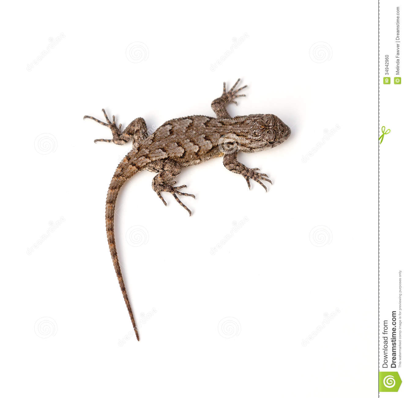 Eastern Fence Lizard clipart #20, Download drawings