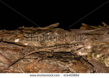 Eastern Fence Lizard clipart #13, Download drawings