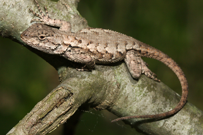 Eastern Fence Lizard clipart #8, Download drawings