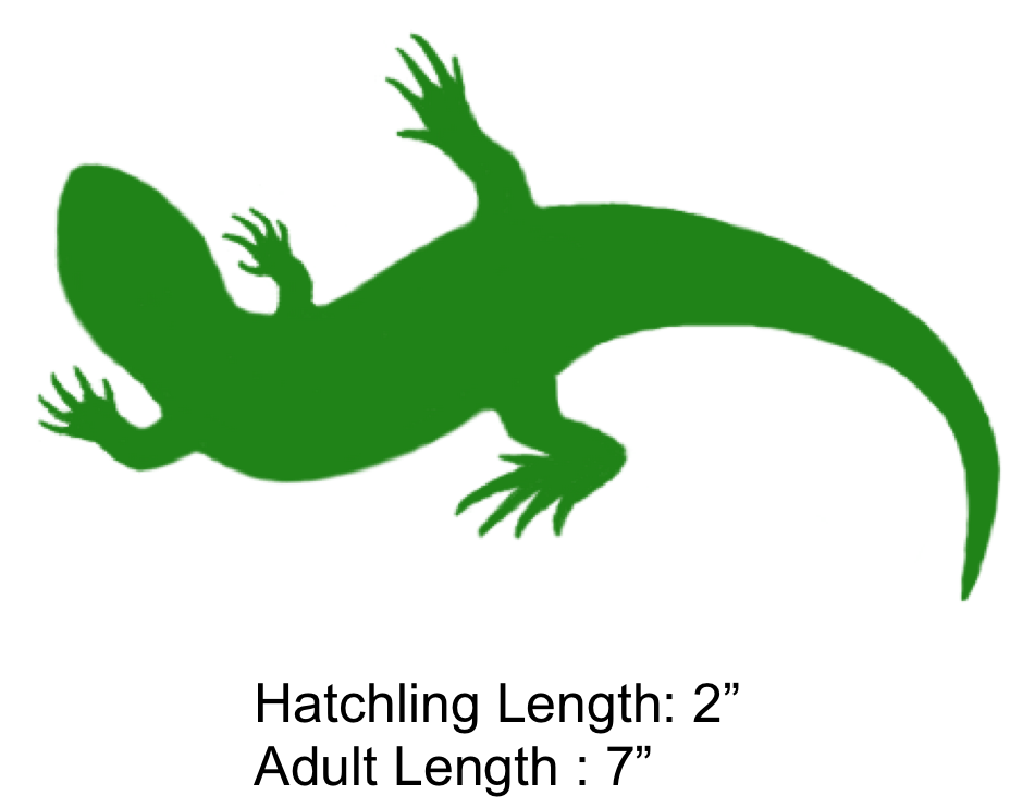 Eastern Fence Lizard clipart #6, Download drawings