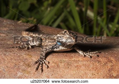Eastern Fence Lizard clipart #19, Download drawings