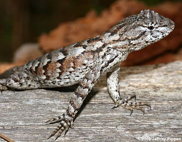 Eastern Fence Lizard clipart #7, Download drawings