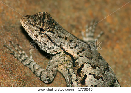 Eastern Fence Lizard clipart #12, Download drawings