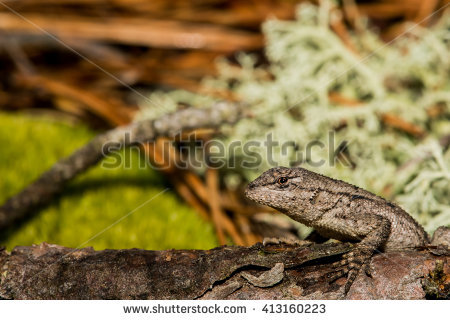 Eastern Fence Lizard clipart #9, Download drawings