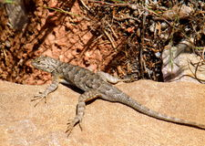 Eastern Fence Lizard clipart #16, Download drawings