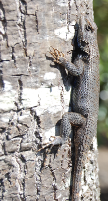 Western Fence Lizard svg #18, Download drawings