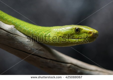 Eastern Green Mamba clipart #11, Download drawings