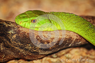 Eastern Green Mamba clipart #10, Download drawings