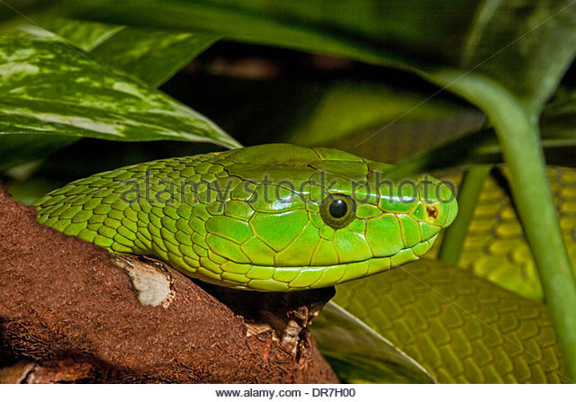Eastern Green Mamba clipart #3, Download drawings